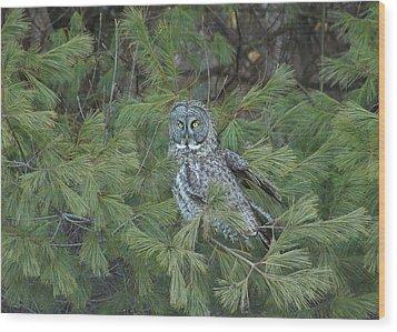 Great Gray Owl In Pine Tree Wood Print by John Burk