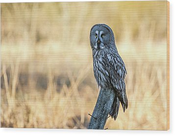 Great Grey Perching Wood Print by Torbjorn Swenelius