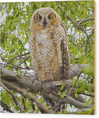 Great Horned Owlet Wood Print by Ricky L Jones