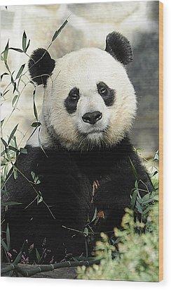 Great Panda II Wood Print