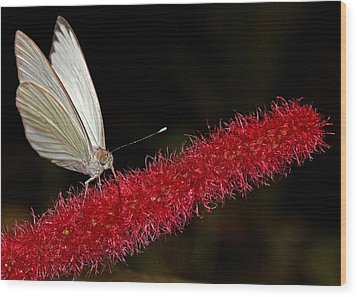 Wood Print featuring the photograph Great Southern White by Judy Vincent