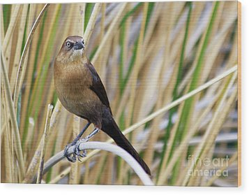 Great-tailed Grackle Wood Print by Afrodita Ellerman