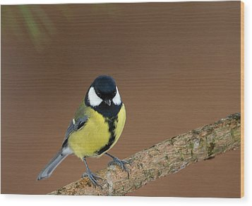 Great Tit Wood Print