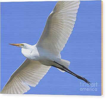 Great White Egret In Flight . 40d6850 Wood Print by Wingsdomain Art and Photography