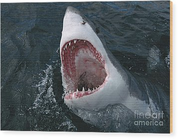 Great White Shark Jaws Wood Print by Mike Parry