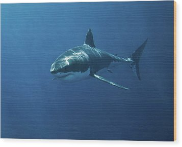 Great White Shark Wood Print by John White Photos