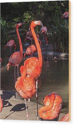 Greater Flamingo Wood Print by Daniel Hebard