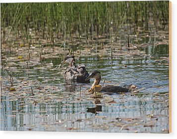 Grebe's On The Water Wood Print