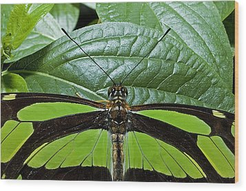 Green Butterfly Wood Print by Don Mennig