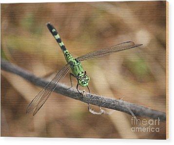 Green Dragonfly On Twig Wood Print by Carol Groenen
