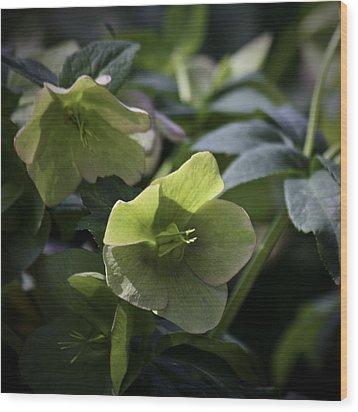 Green Hellebore Squared Wood Print by Teresa Mucha