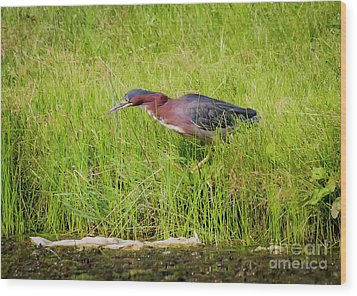 Green Heron On The Hunt Wood Print by Ricky L Jones