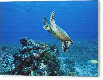 Green Sea Turtle Chelonia Mydas Wood Print by Tim Laman