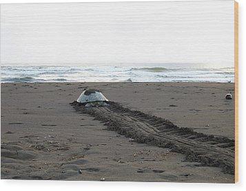 Green Sea Turtle Returning To Sea Wood Print by Breck Bartholomew