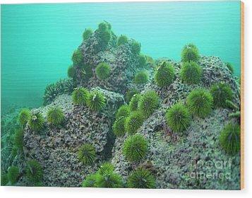 Green Sea Urchin Wood Print by Sami Sarkis