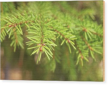 Green Spruce Branch Wood Print