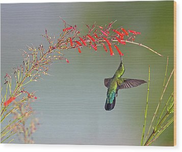 Green-throated Carib Wood Print