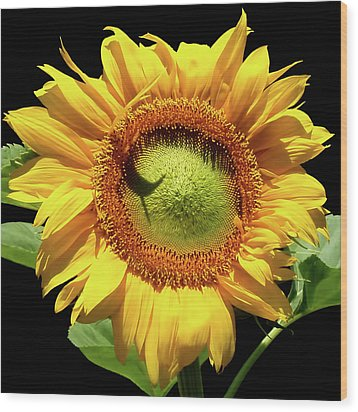 Greenburst Sunflower Wood Print
