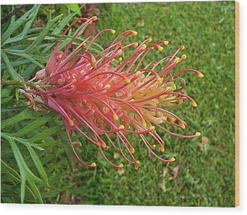 Grevillea Superb Wood Print