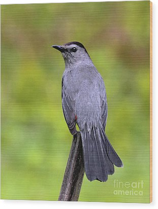 Wood Print featuring the photograph Grey Catbird by Debbie Stahre