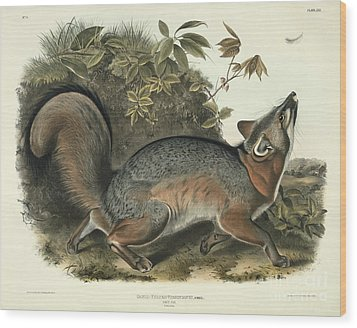 Grey Fox Wood Print by John James Audubon