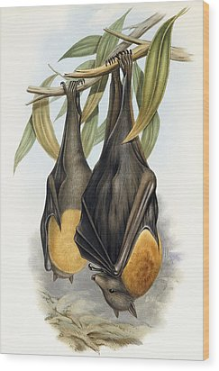 Grey Headed Flying Fox, Pteropus Poliocephalus Wood Print by John Gould