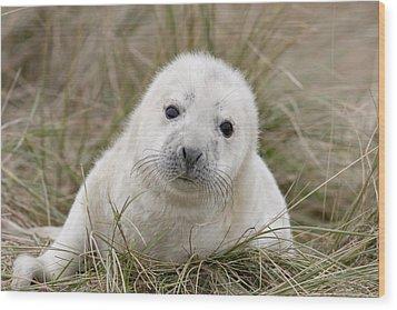 Grey Seal Pup Wood Print