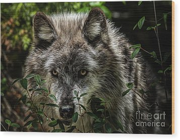 Grey Wolf Wood Print by Brad Allen Fine Art