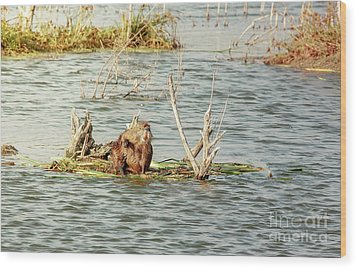 Wood Print featuring the photograph Grinning Nutria On Reeds by Robert Frederick