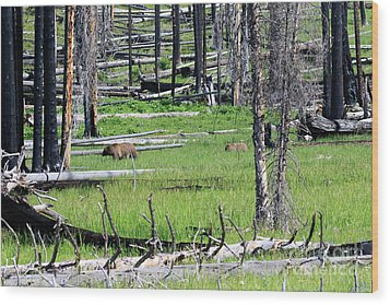 Grizzly Bear And Cub Cross An Area Of Regenerating Forest Fire Wood Print by Louise Heusinkveld