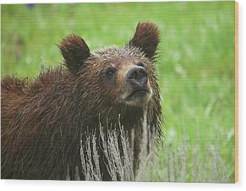Wood Print featuring the photograph Grizzly Cub by Steve Stuller