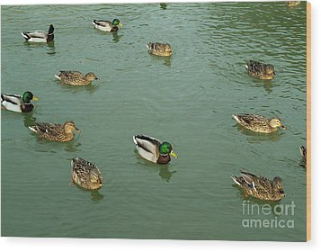 Group Of Male And Female Ducks On The Water Wood Print by Sami Sarkis