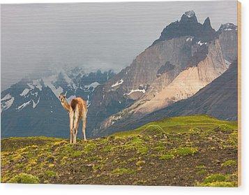 Guanaco - Patagonia Wood Print by Carl Amoth