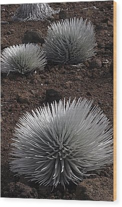 Haleakala Silverswords Wood Print
