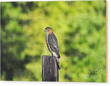 Wood Print featuring the photograph Handsome Hawk by Al Powell Photography USA