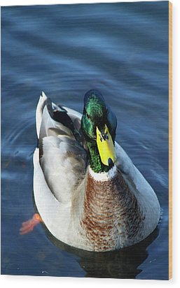 Handsome Male Mallard Wood Print