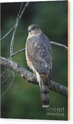 Handsome Sharp Shinned Hawk Wood Print