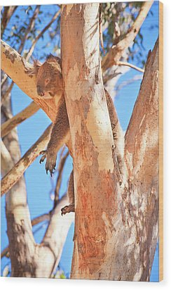 Wood Print featuring the photograph Hanging Around, Yanchep National Park by Dave Catley