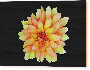 Happy Dahlia Wood Print