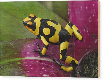 Harlequin Poison Dart Frog  Wood Print by Thomas Marent