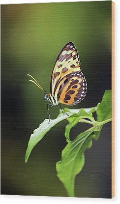 Wood Print featuring the photograph Harmonia Tiger Wing by Grant Glendinning