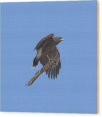Harris Hawk - Transparent Wood Print by Nikolyn McDonald