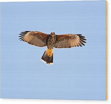 Wood Print featuring the photograph Harris's Hawk H36 by Mark Myhaver