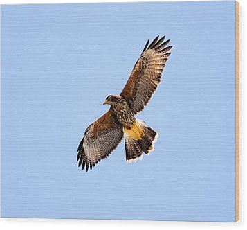 Wood Print featuring the photograph Harris's Hawk H37 by Mark Myhaver