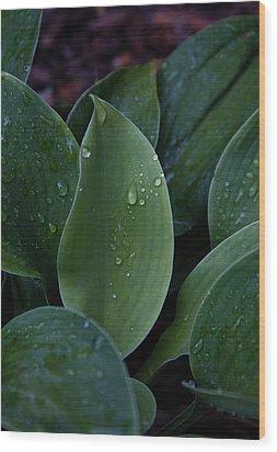 Hausta Dew Drops Wood Print by Douglas Barnett