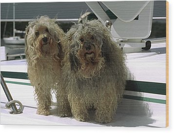 Wood Print featuring the photograph Havanese Dogs by Sally Weigand