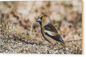 Wood Print featuring the photograph Hawfinch's Gaze by Torbjorn Swenelius