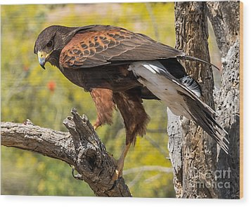 Hawk In A Tree Wood Print by Leo Bounds