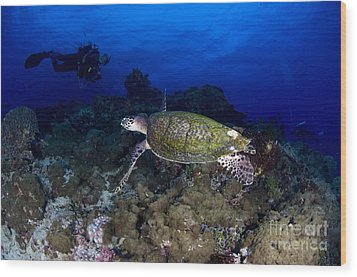 Hawksbill Turtle Swimming With Diver Wood Print by Steve Jones