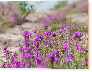 Heather - Calluna Vulgaris - In Flower In Summer Wood Print